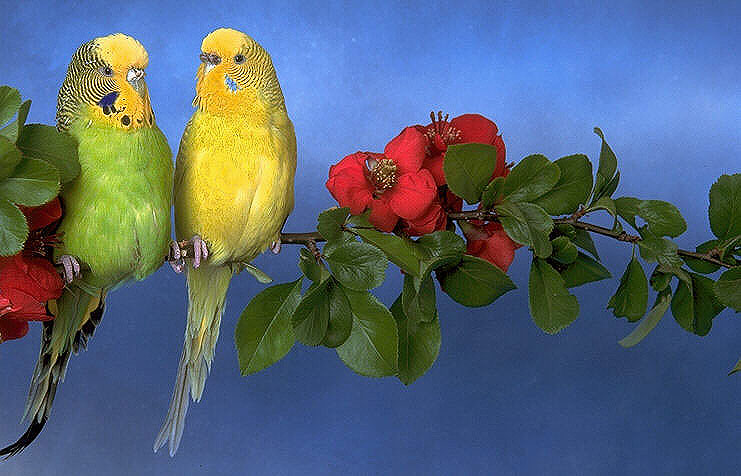 Sweet Budgerigars