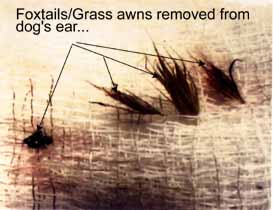 Foxtails or grass awns